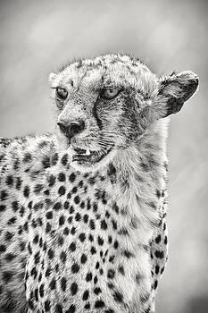 Adam Romanowicz - Cheetah