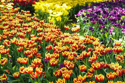 Colorful Tulip Field by Chaiyaphong Kitphaephaisan