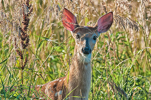 Curious Fawn by Christopher L Nelson
