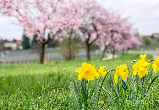 Daffodils with blooming almond trees in the background by Palatia Photo