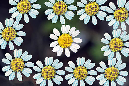 Daisies... by Can Kalagoglu