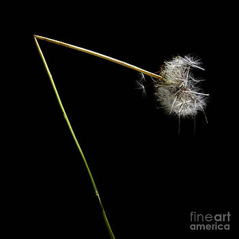 BERNARD JAUBERT - Dandelion with broken stem.