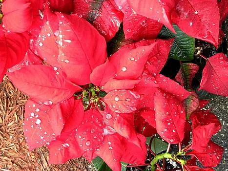 Patricia Taylor - Diamond Encrusted Poinsettias