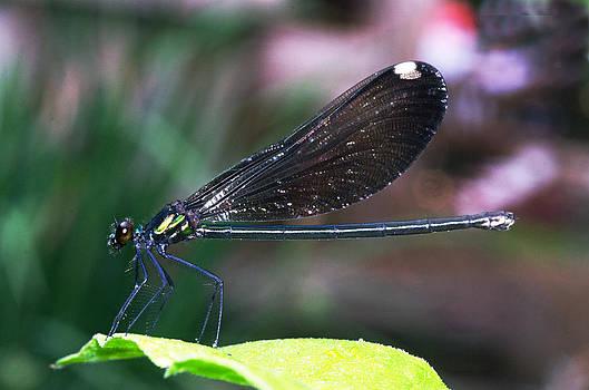 Dragonfly by Cheryl Cencich
