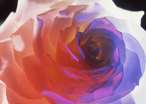 Electric Rose  by Etti PALITZ