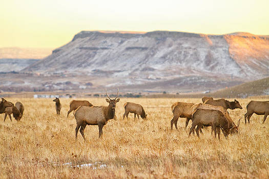 James BO  Insogna - Elk Herd Grazing Rocky Mountain Foothills
