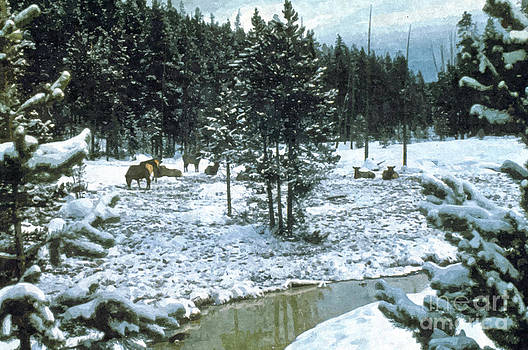 Elk in Montana by Larry Stolle