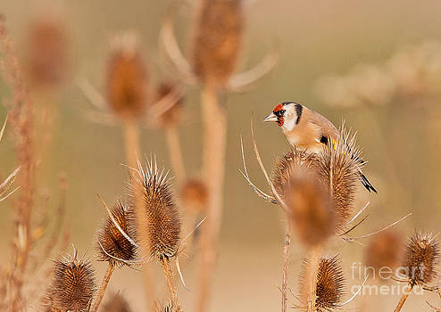 European Goldfinch by Jean-Luc Baron