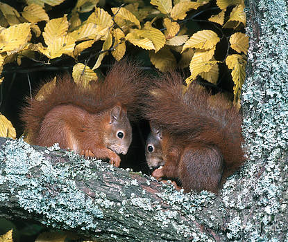 Hans Reinhard - European Red Squirrels