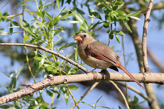 Female Northern Cardinal by Jim Nelson