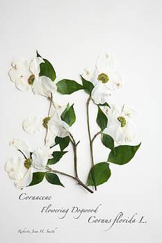 Flowering Dogwood by Roberta Jean Smith