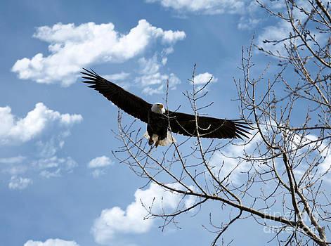 Flying Eagle by Lori Tordsen