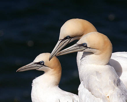 Gannets by Paul Scoullar