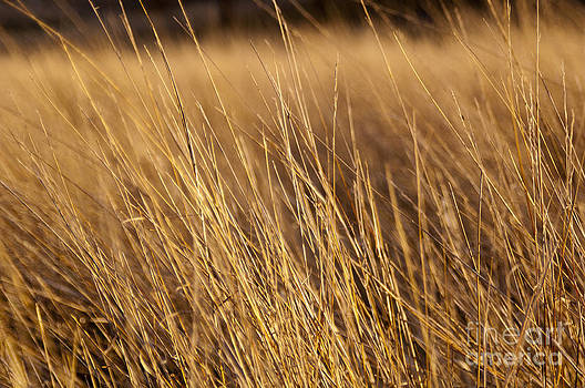 Tim Hester - Golden Grass