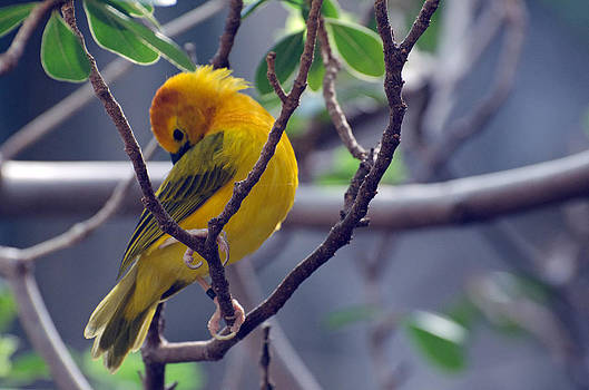 Golden Weaver by Cheryl Cencich