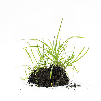 BERNARD JAUBERT - Grass seedling