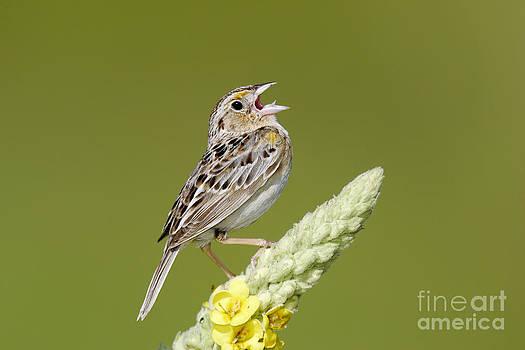 Jim Zipp - Grasshopper Sparrow