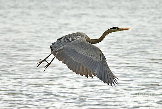 Andrea Kollo - Great Blue Heron