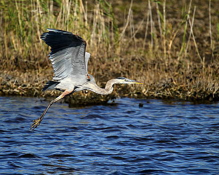 Great Blue Heron by Henry Gray