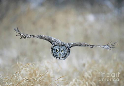 Jim Zipp - Great Gray Owl