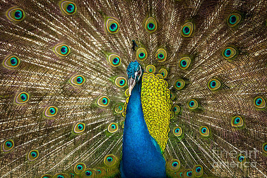 Green Beautiful Peacock by Tosporn Preede