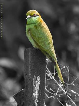 Green-Bee Eater by Virag Yelegaonkar