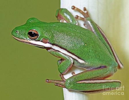 Millard H Sharp - Green Treefrog