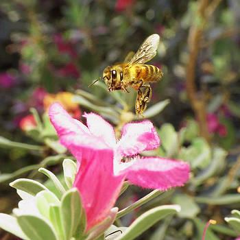 Honey Bee on Texas Sage by Walter Klockers