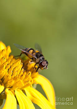 Hoverfly Macro on a Yellow Flower by Brandon Alms