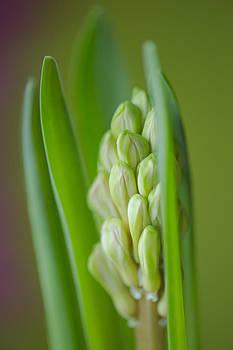 Hyacinth by Silke Magino
