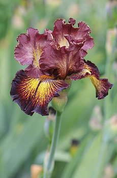 Iris flower by Jessica Nguyen
