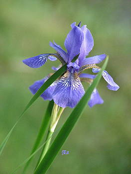 Iris by June Lambertson