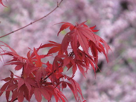 Alfred Ng - japanese maple