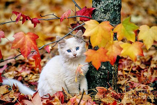 Inga Spence - Kitten