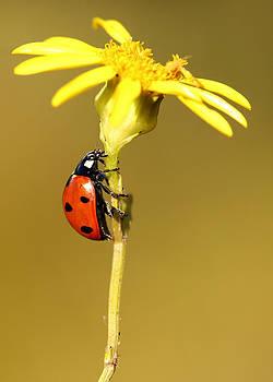Ladybird by Grant Glendinning