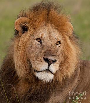 Mark Boulton - Large Male Lion
