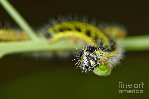 Nick  Biemans - Large White Caterpillars