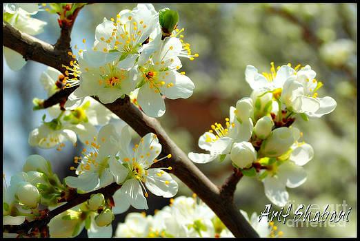 Last spring  by Arif Zenun Shabani