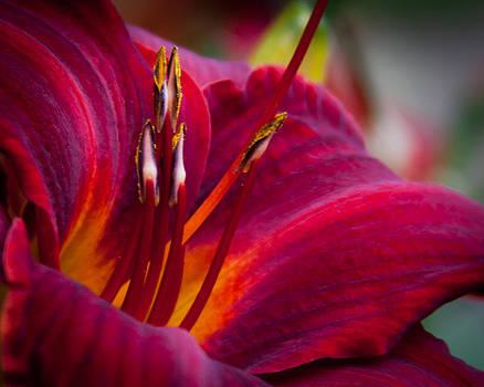 Lily by Lynne Jenkins