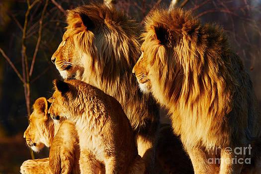 Nick  Biemans - Lion family close together