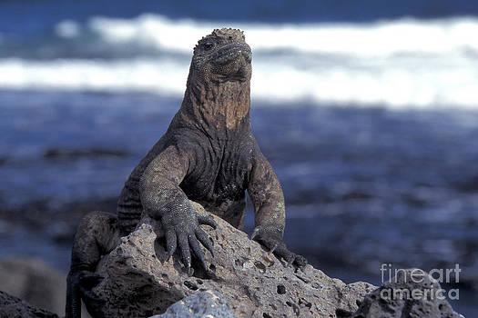Mark Newman - Marine Iguana