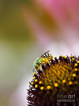 Metallic Green Bee Macro on a Coneflower by Brandon Alms
