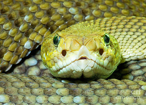 Millard H. Sharp - Mexican West Coast Rattlesnake