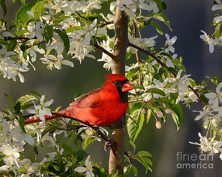Red Cardinal In Flowers by Nava Thompson