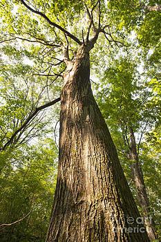 Jonathan Welch - Oak Tree
