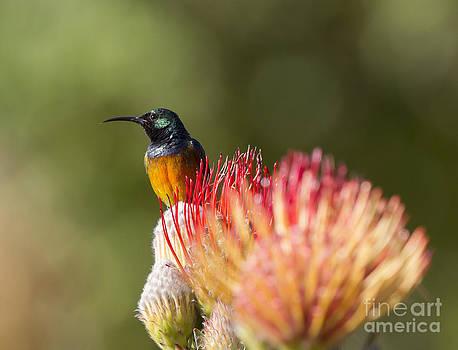 Orange-breasted Sunbird by Jean-Luc Baron