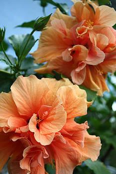 Orange Hibiscus Pair by Karen Nicholson