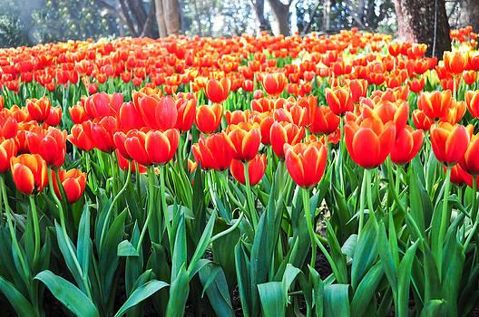 Orange Tulip by Chaiyaphong Kitphaephaisan