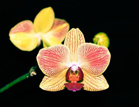 Orchid by Brad Fuller