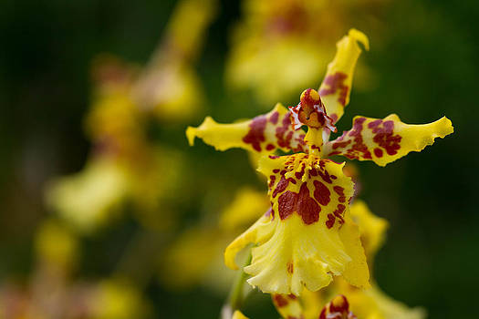 Orchid from Finca Dracula by JP Lawrence